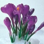 crocus pushing up through snow