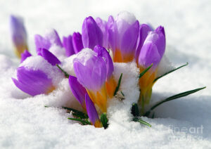 purple-crocuses-in-the-snow-sharon-talson